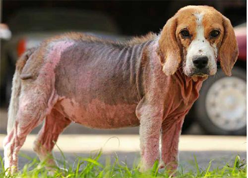 Veterinaria: Malattie parassitarie del cane